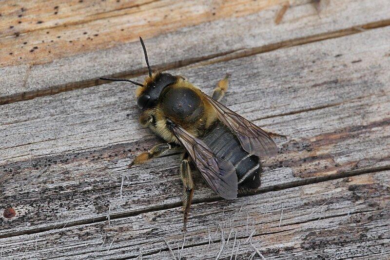 Отдыхающая на доске пчела. Хорошо видны три простых глазка на темени