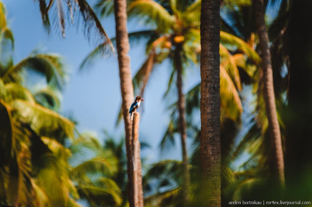 Индия, Гоа, Зимородок, Goa, Kingfisher