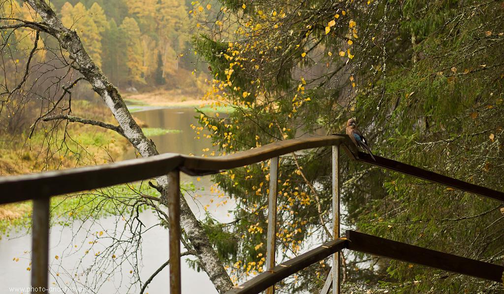"""17. Фотоохота на сойку удалась. Природный парк """"Оленьи ручьи"""" осенью."""