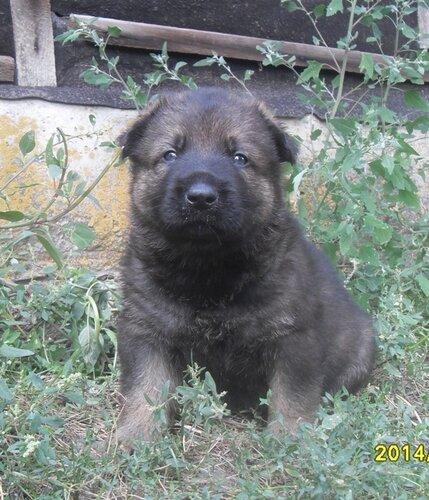 Родились щенки от Charly v. Rio Negro и Lola iz Peschanki 0_e8d2f_52655b35_L