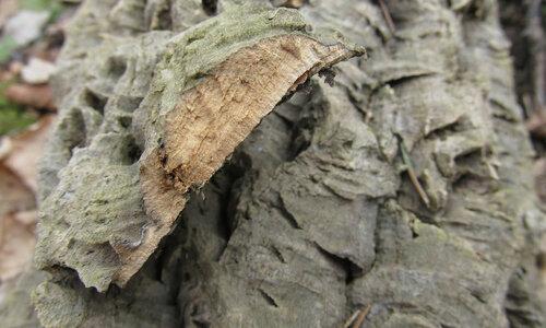 Амурское пробковое дерево Автор фото: Лариса Петрович