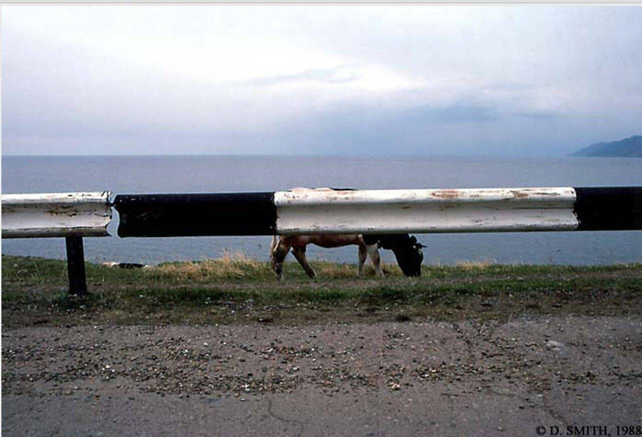 Корова на берегу озера Байкал в районе села Листвянка