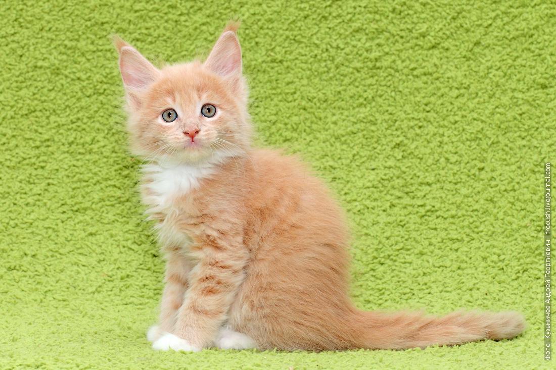 фотографии мейн-кун котята смотреть бесплатно