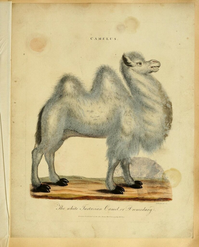 The white Tartarian Camel or Dromedary. Plate from 'Animals and Birds' (1796) by J.Wilkes.jpg