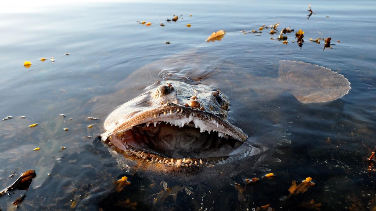 Как женится морской черт Рыбы