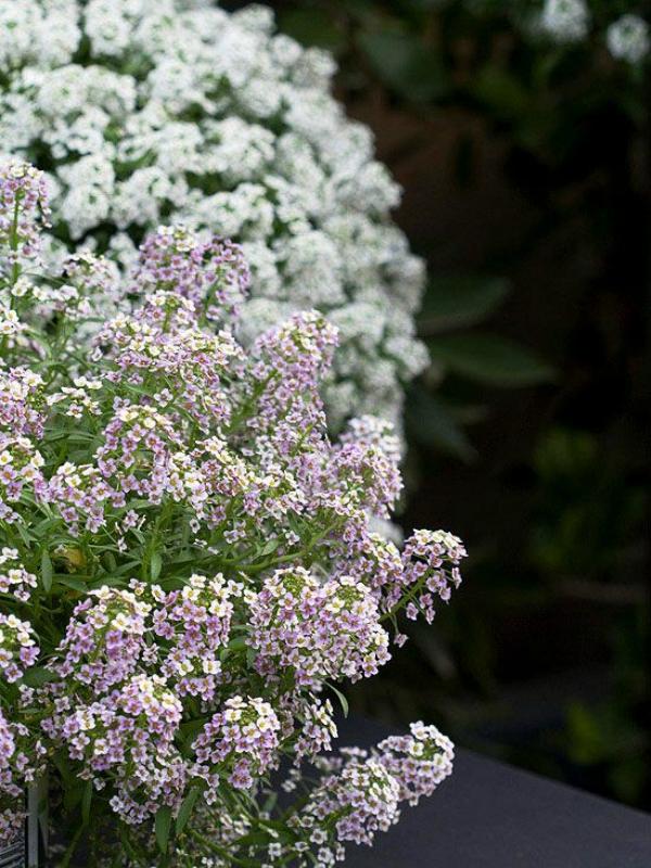 Какие цветы можно посадить под зиму - 20 однолетников-Алиссум