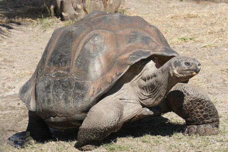 Слоновая  или галапагосская черепаха.jpg