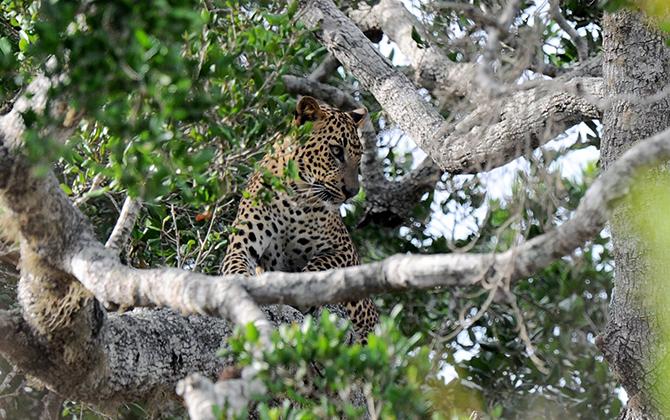 В Национальном парке Шри-Ланки живет большое количество леопардов.