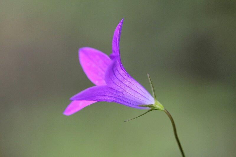 Цветок колокольчика раскидистого (Campanula patula)