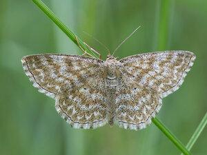 s:дневные бабочки ,c:кремовые,c:c темными пятнами