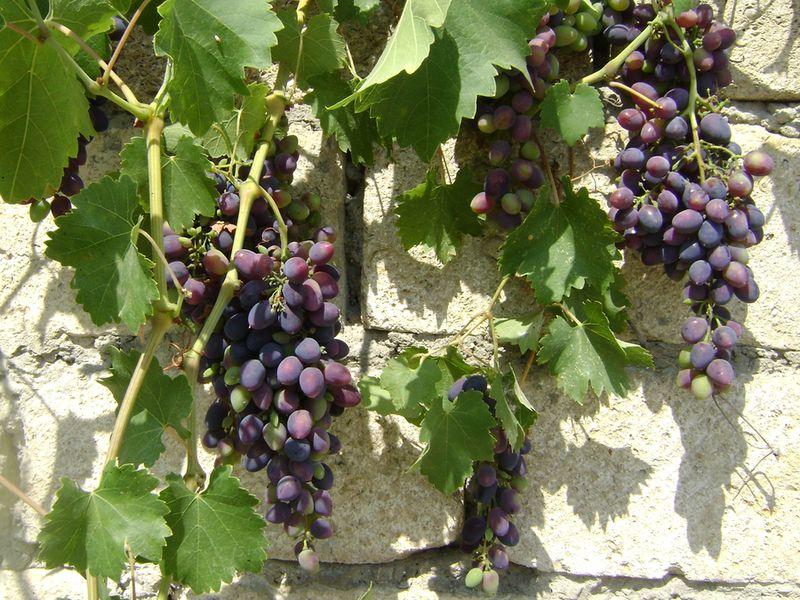 На заборе: Черный виноград
