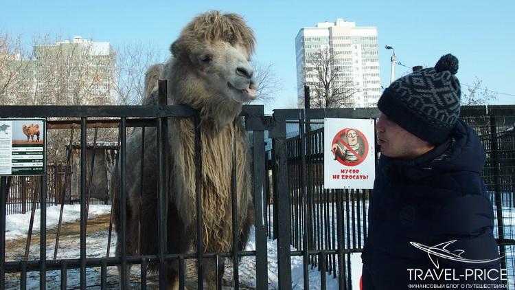 верблюд в зоопарке Казани