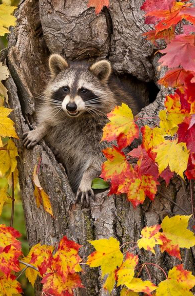 Raccoon in hole in tree with fall color, Pine County, MN