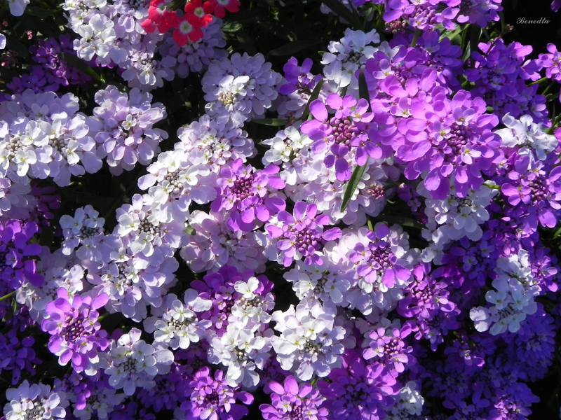 Какие цветы можно посадить под зиму - 20 однолетников-Иберис