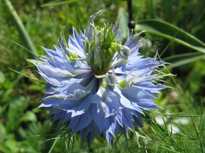 Какие цветы можно посадить под зиму - 20 однолетников-Нигелла