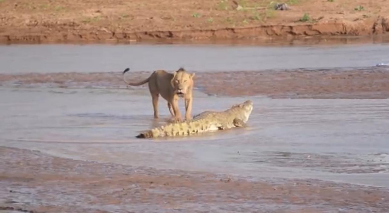 лев и крокодил