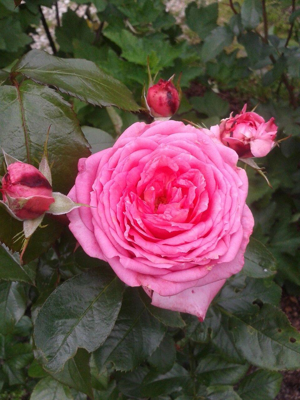 роза жуа де вивр фото конкурса