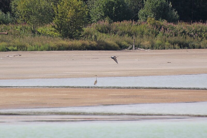 Две серых цапли (Ardea cinerea) на прудах Кирово-Чепецкого завода минеральных удобрений