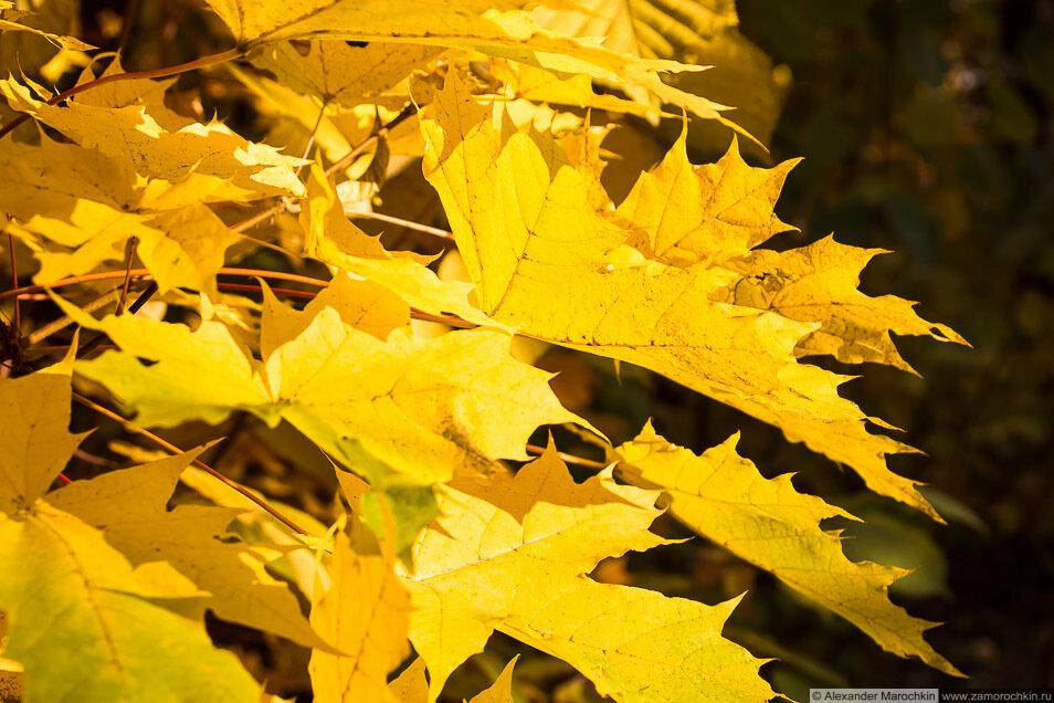 Осенний лес, жёлтые листья клёна