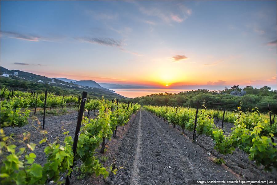 Рассвет на крымских виноградниках