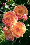 Роза Приёр де Сан-Косм (Prieure De St Cosme) кустарниковая Massad 2008 Питомник Petales de Roses Посадка март 2014 года