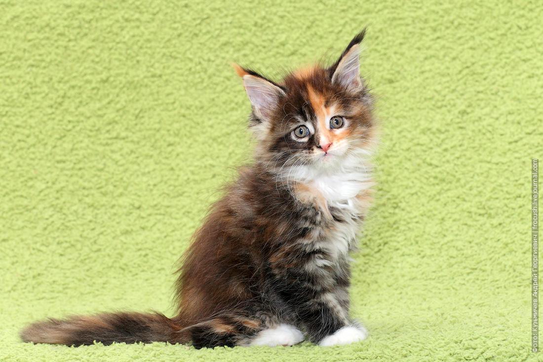 картинки мейн-кун котята