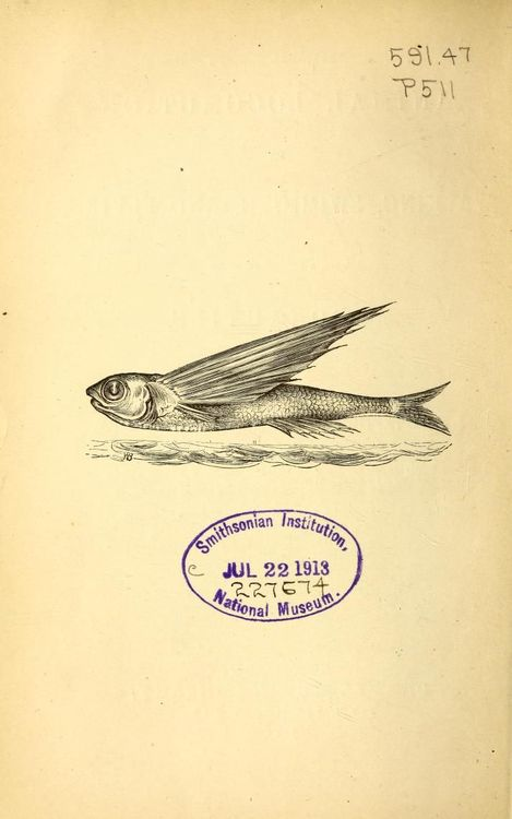 Flying Fish. Animal Locomotion or Walking, Swimming and Flying. James Bell Pettigrew. 1874.jpg