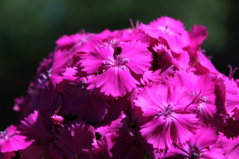 Фотоальбом «Лучшее из сада»-турецкая гвоздика