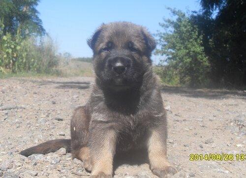 Родились щенки от Charly v. Rio Negro и Lola iz Peschanki 0_e8eb5_88b1bb3c_L