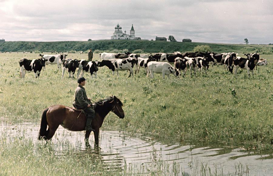 Холмогорские коровы 8 900.jpg