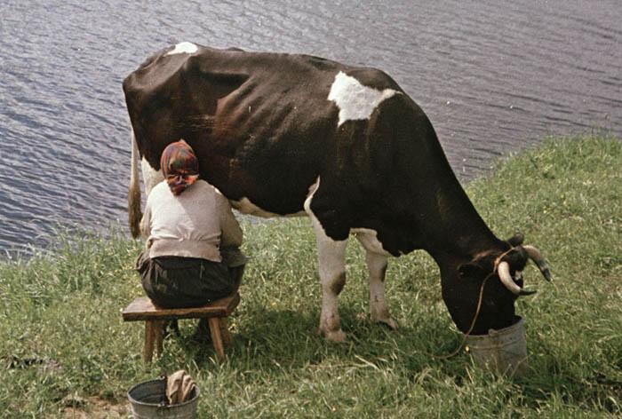 Холмогорские коровы 5 фр 700.jpg
