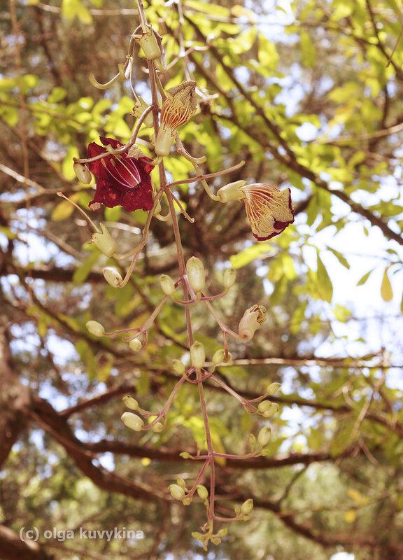 Кигелия, или колбасное дерево
