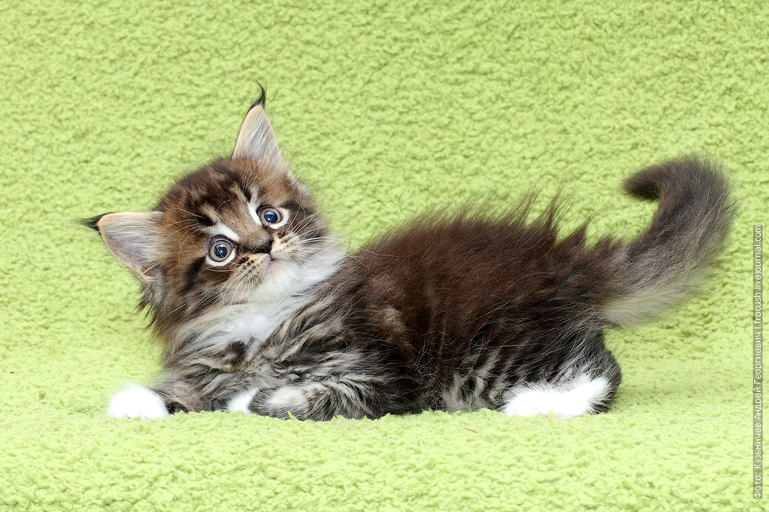 котята мейн-кун продажа