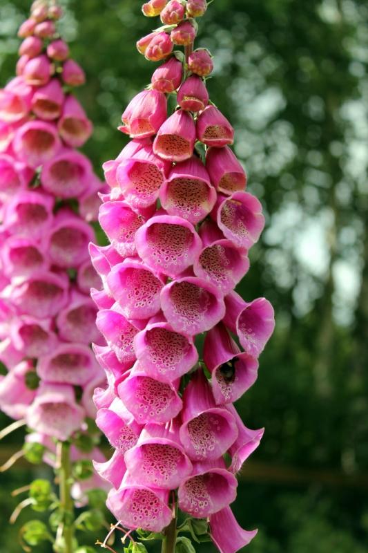 Какие цветы можно посадить под зиму - 24 многолетника-Наперстянка