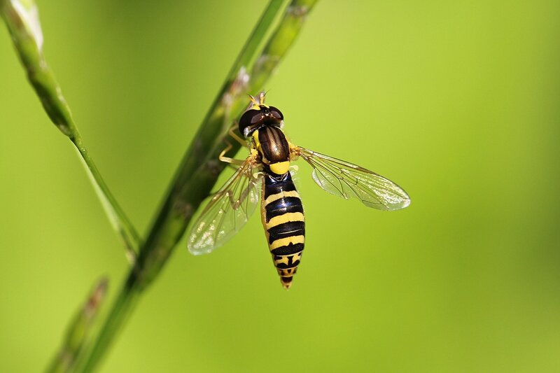 Муха-журчалка (Syrphidae), маскирующаяся под осу на стебле травинки. Вероятно, Шароноска украшенная (лат. Sphaerophoria scripta)