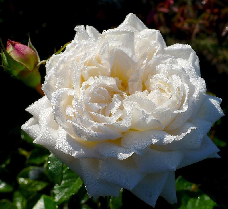 Розы сентября