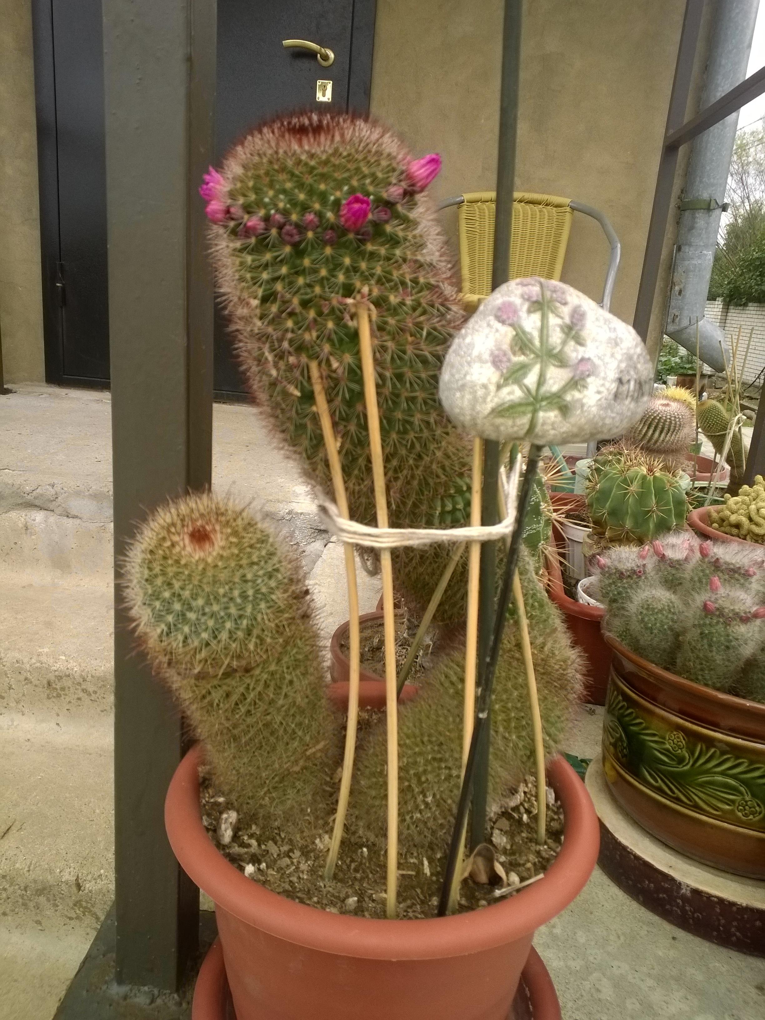 Ларисины кактусы (6).jpg