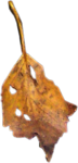 la_leaf 3.png