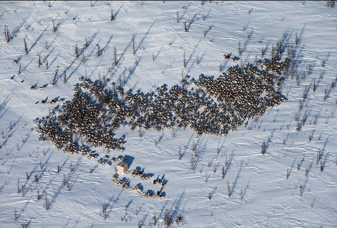 04. Ненецкие пастухи и их олени