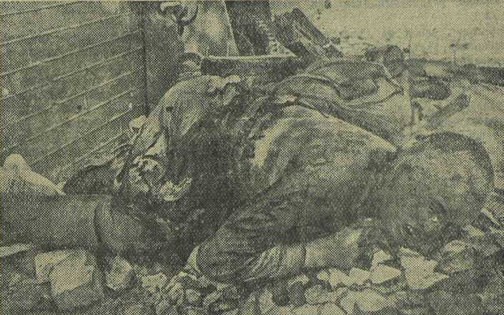 Трупы красноармейцев и командиров Красной армии, сожженных немцами после тяжелых пыток и издевательств в г. Острове