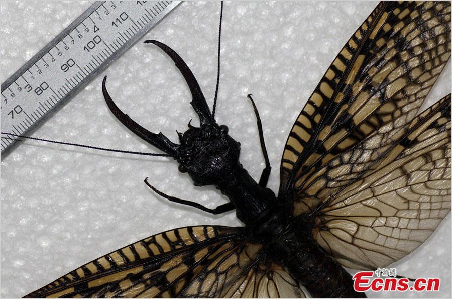 Самое большое водное насекомое