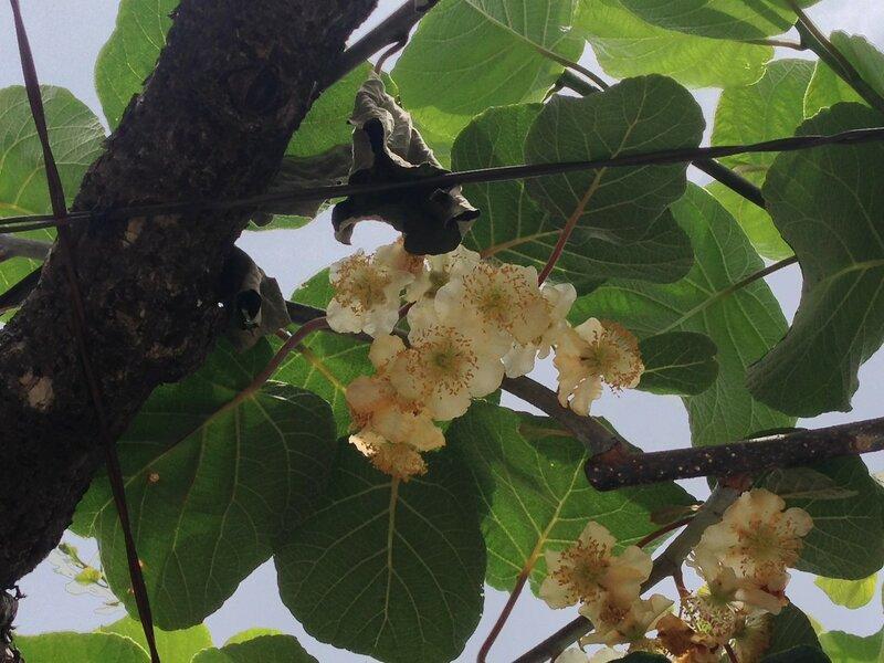 цветы киви