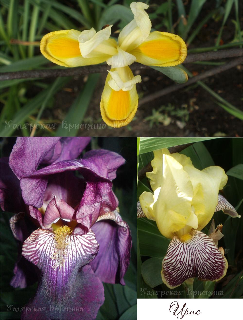 фиолетовые и желтые ирисы
