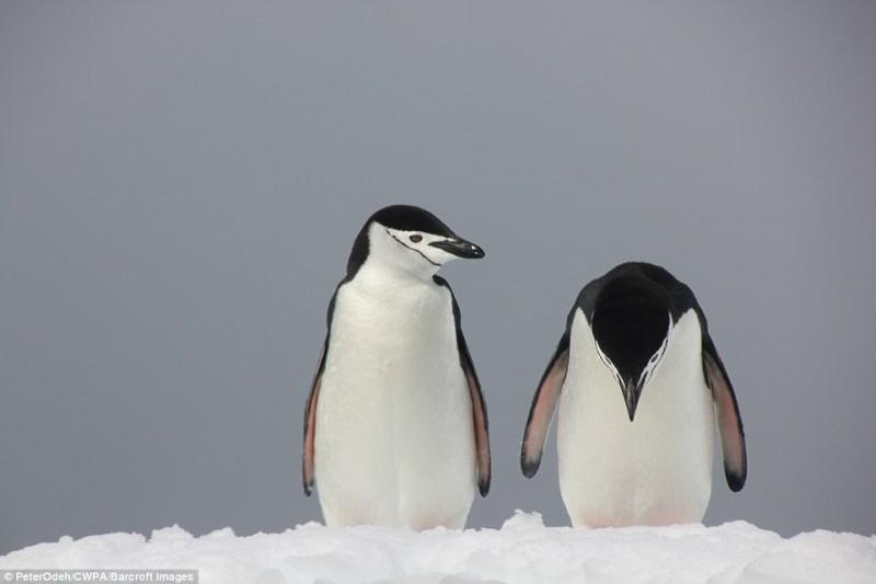 Унылый пингвин стоит около своего партнера и напоминает нам о том, что отношения трудны для всех вид