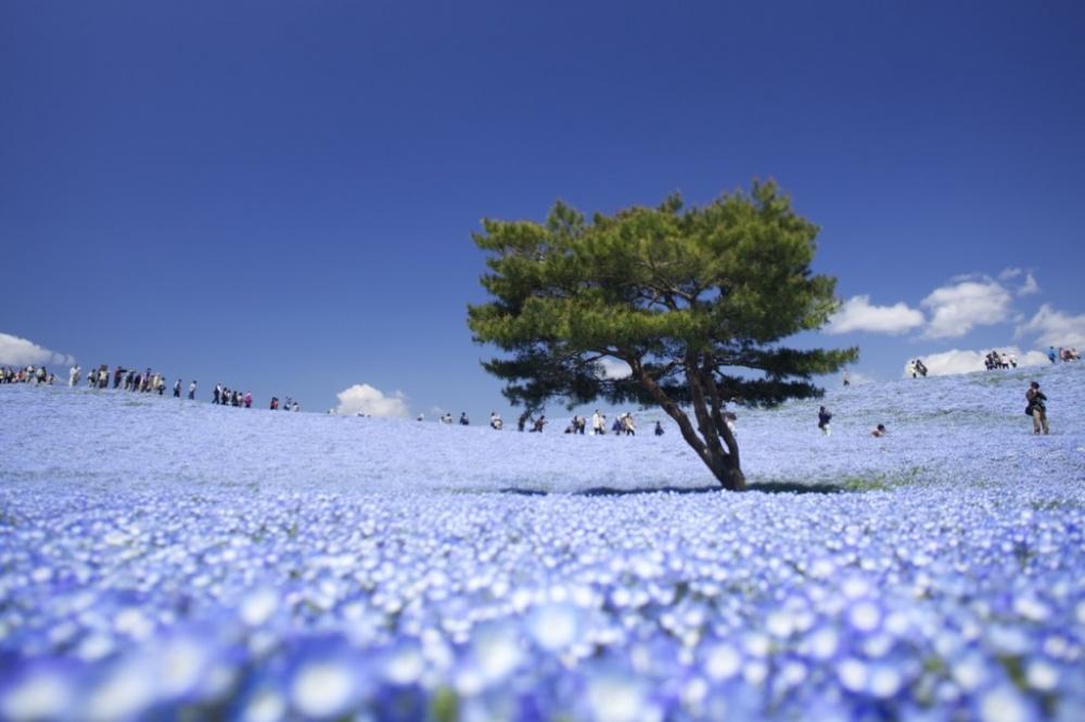 pixland Национальный парк Хитачи Сисайд навостоке Японии— удивительный пример ландшафтного дизайна