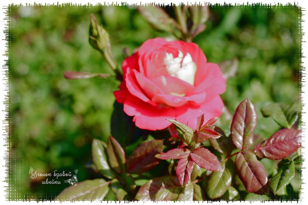 роза из моего сада