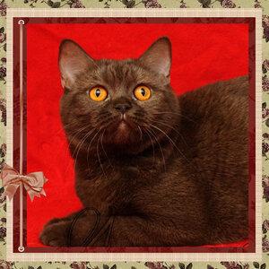 БравоБРИ Юрмала bs британская короткошерстная кошка шоколадного серебристого окраса