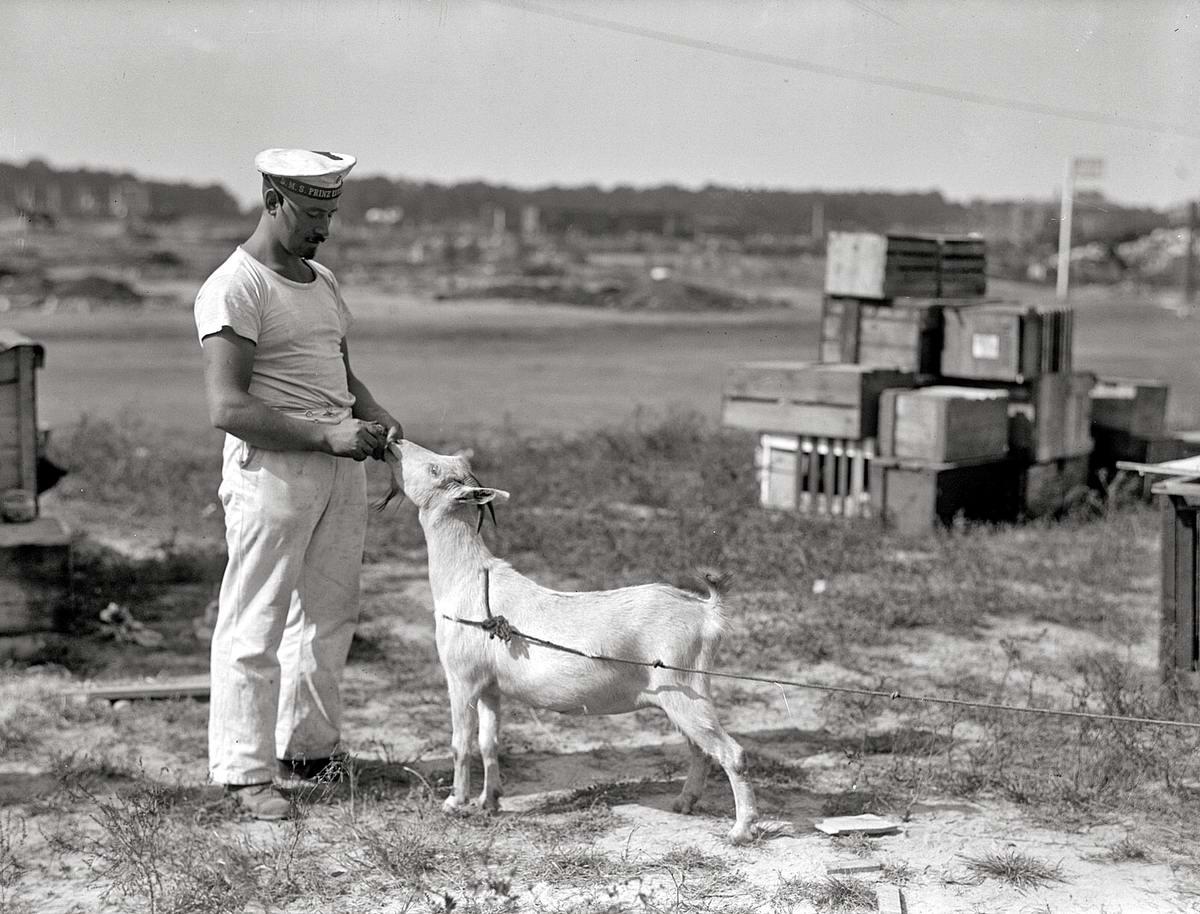 Коза - подружка моряка (1916 год)