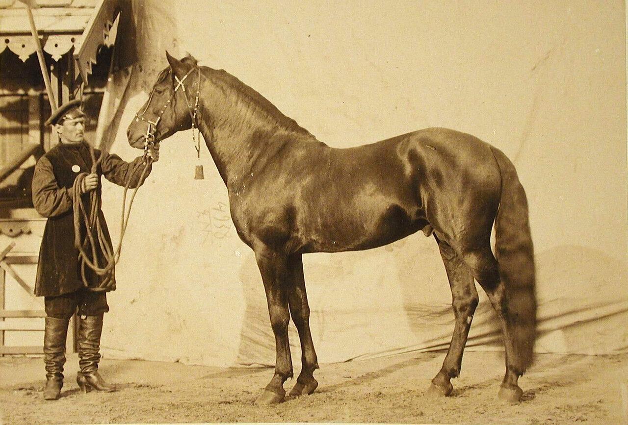 25. Жеребец конного завода Суручана, экспонирующийся на выставке