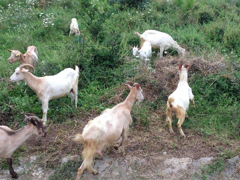козы в Которе